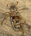Pine Chafer - Dichelonyx vicina