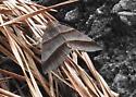 Moth  - Argyrostrotis sylvarum