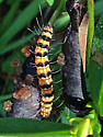 Orange and Black Caterpillar - Utetheisa ornatrix