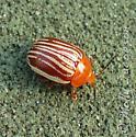 beetle - Blepharida rhois