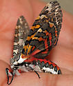Painted Tiger Moth - Arachnis picta