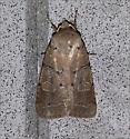 Intractable Quaker moth - Himella fidelis