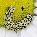 caterpillar dorsal - Schinia
