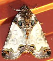 Tufted Bird Dropping Moth - Cerma cerintha
