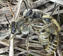 Bee - Colletes inaequalis - male - female