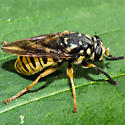 Unknown Fly - Temnostoma alternans
