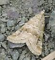 Moth 4603 - Hellula rogatalis