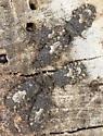 Camouflaged insects   - Mezira subsetosa