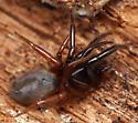 tube-dwelling spider - Ariadna bicolor - female