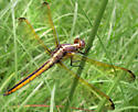 Young male Golden-Winged Dragonfly 2 - Libellula flavida - male
