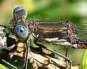 Lestes congener - female