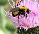 ID for this bee please - Bombus nevadensis