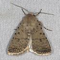 Maybe a Caradrina montana - Civil Rustic - Caradrina clavipalpis