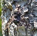 some sort of biting fly - Xenox tigrinus