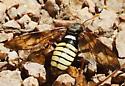 Elm Sawfly - Cimbex americana? - Cimbex americanus