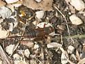 3014650 cricket - Allonemobius - female