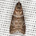 Sweetgum Leafroller Moth - Hodges #5802 - Sciota uvinella
