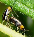 Acalymma trivittatum couple - Acalymma trivittatum - male - female
