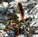 Wasp ? - Sphiximorpha willistoni - female