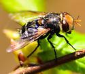 tachnid fly - Gonia sagax