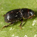 Tiny Digging Beetle - Aegialia