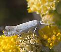 Unknown moth - Ypsolopha maculatella