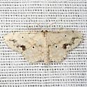 Wave Moth - Hodges #7152 - Scopula compensata