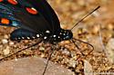 Pipevine Swallowtail - Battus philenor