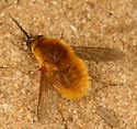 bee fly - Systoechus vulgaris - female