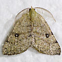 moth - Chloraspilates minima