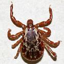 American Dog Tick - Dermacentor variabilis - male