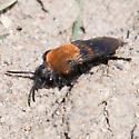 Andrena milwaukeensis ? - Melecta
