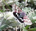 is this a Species Eutricopis nexilis - White-spotted Midget Moth - Hodges#11062? - Eutricopis nexilis