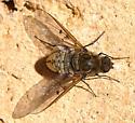 Bee Fly - Anthrax larrea