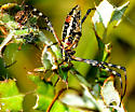 spider colorful ventral - Argiope trifasciata