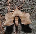 Walnut sphinx? - Amorpha juglandis - male