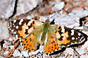 Butterfly at Chiricahua National Monument AZ - Vanessa cardui