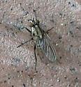 Root-maggot Fly - Anthomyia oculifera - female