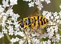 Fly or Bee? - Myathropa florea