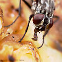 Fly - Musca domestica - female