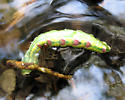 caterpillar in a creek - Ellida caniplaga