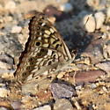 Hackberry Emperor butterfly - Asterocampa celtis - male