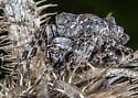 Unknown 8 legs - Acanthepeira stellata