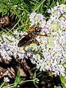 Cicada killer? - Sphex