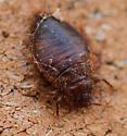 Bat parasite - Cimex pilosellus