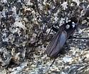 Thambemyia borealis (Prolly) - Thambemyia borealis