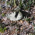 Unknown White Butterfly - Parnassius smintheus - male