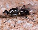 Chloropidae? - Themira annulipes