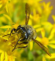 leafcutter bee? - Megachile