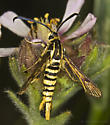 Clearwing on rare Horkelia relative - Synanthedon bibionipennis